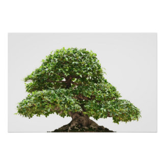 Ficus bonsai isolated print