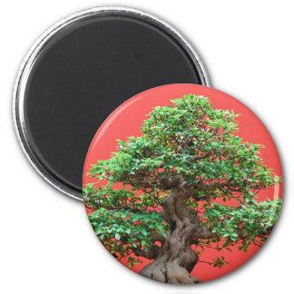 Ficus bonsai magnet