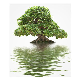 Ficus bonsai photo print