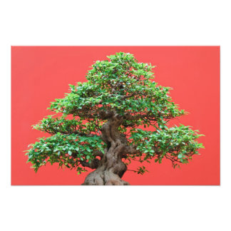 Ficus bonsai photograph