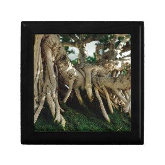 Ficus bonsai roots gift box