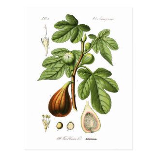 Ficus carica (Fig) Postcard
