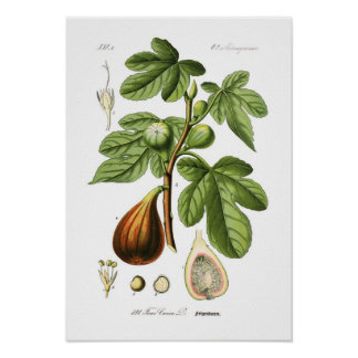Ficus carica (Fig) Poster