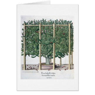 Ficus indica eystettensis, from the 'Hortus Eystet Greeting Card