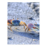 Fiddler Crab Postcard