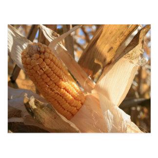 Field Corn on Stalk Post Card
