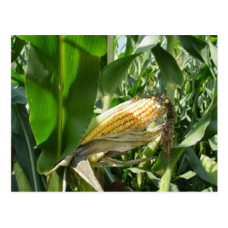 Field Corn Postcard