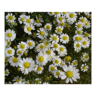 Field Daisy -Love-Me-Love-Me-Not- Flowers Poster