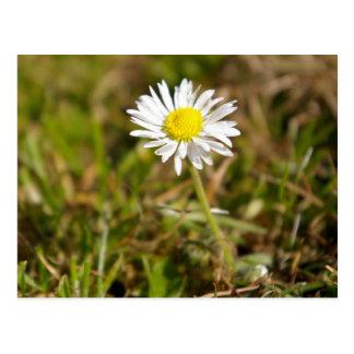 Field Daisy Postcards