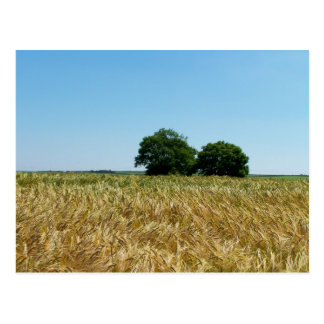 Field of Barley in Cornwall Photograph Postcard
