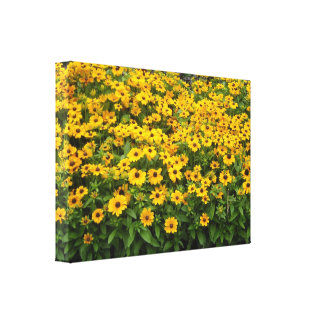 Field of Black Eyed Susans Stretched Canvas Print