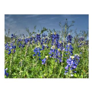 Field of Bluebonnet Postcard