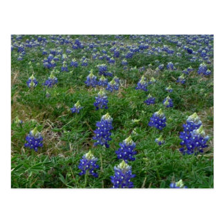 Field of Bluebonnets Postcard
