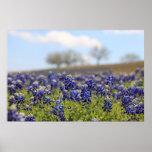 Field of Bluebonnets Poster