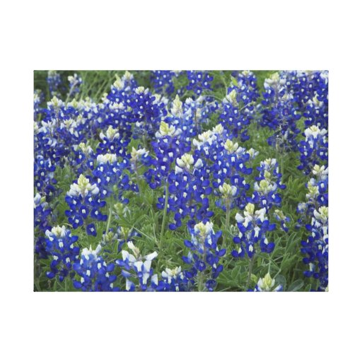 Field of Bluebonnets Stretched Canvas Print