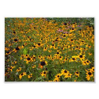 Field of Brown-eyed Susan flowers. Photo Print