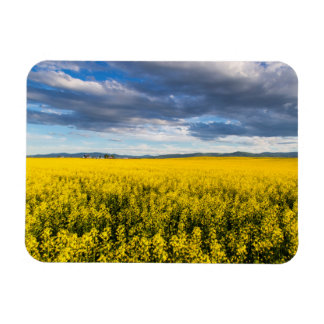 Field Of Canola In Late Evening Light Magnet