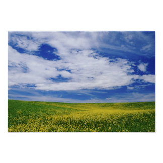 Field of Canola or Mustard flowers, Palouse Poster