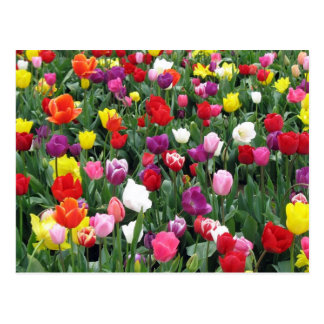 Field of Colorful Tulips Postcard