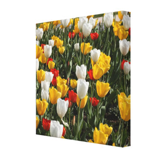 Field of Colorful Tulips: Wide Zoom View Stretched Canvas Print