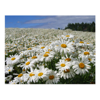 Field of daisies in Hokkaido Postcards