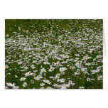 Field of Daisies Nature Photo Card