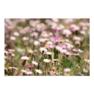 Field of Daisies Photo