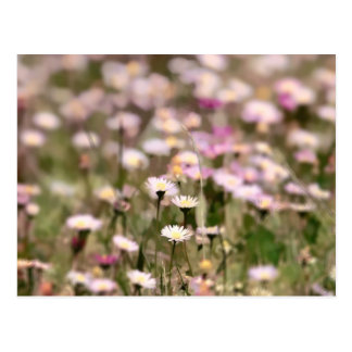 Field of Daisies Photo Post Card