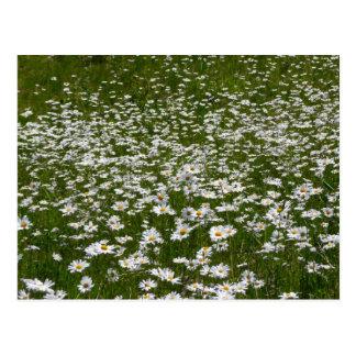 Field of Daisies Postcard