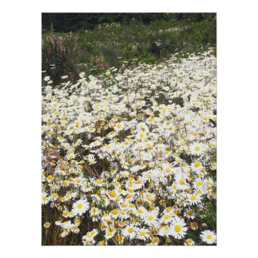 Field of Daisies Poster
