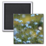Field of Forget-Me-Not Flowers Refrigerator Magnets