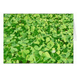 Field of green Clover leaves Greeting Cards