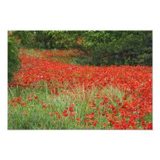 Field of hybrid poppy flowers planted along art photo