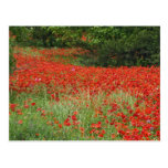 Field of hybrid poppy flowers planted along post cards