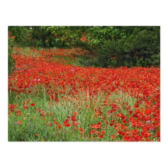 Field of hybrid poppy flowers planted along postcard