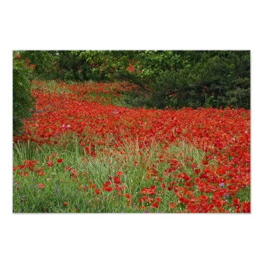 Field of hybrid poppy flowers planted along posters