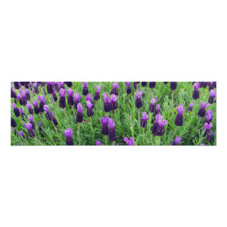 "Field of Lavender 26""w x 8""h Poster"