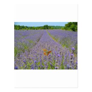Field of lavender - Champ de lavande Carte Postale