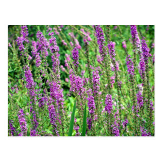 Field of Lavender Postcards