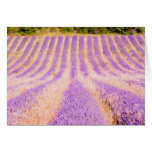 Field Of Lavender Provence France Greeting Cards