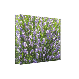 Field of Lavender Stretched Canvas Prints