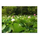 Field of Lotus Flowers Photo Print