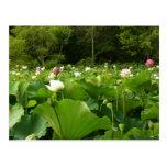 Field of Lotus Flowers Postcard