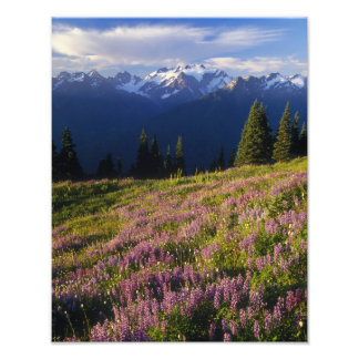 Field of lupine, Mt. Olympus, and clouds at Photo Print