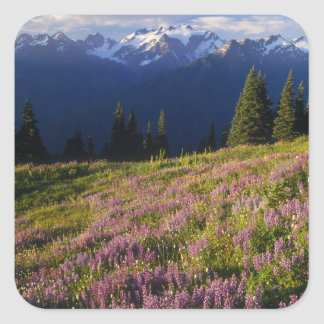 Field of lupine, Mt. Olympus, and clouds at Square Sticker