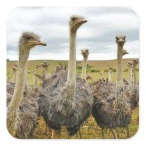 Field of Ostriches Square Sticker