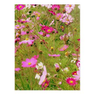 Field Of Pink Flowers Postcard