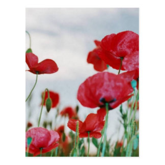 Field of Poppies Against Grey Sky Postcard