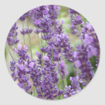 Field of Purple Lavender Flowers Round Stickers