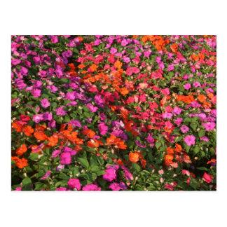 Field of purple pink orange impatients flowers postcards